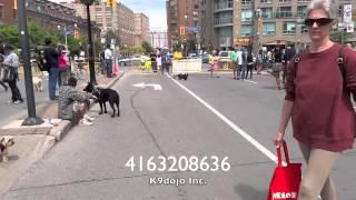 Epic Dog Training German Shepherd Walks Backwards