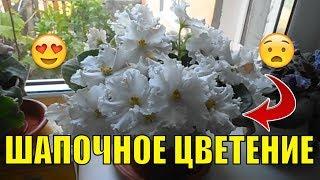 Цветы в доме. Цветение фиалки (сенполии).(Пышное цветение фиалки. Ставьте лайк, если Вам понравилcя ролик и подписывайтесь на канал, чтобы не пропуска..., 2016-06-18T02:48:23.000Z)