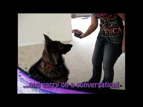 Amazing Advanced Dog Tricks - Shakti, the Shiloh Shepherd (Florida dog training)