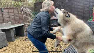 GRANDMA COMES TO VISIT | EXCITED MALAMUTE