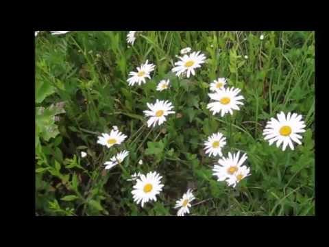 Ромашки в поле  Замедленно mp4