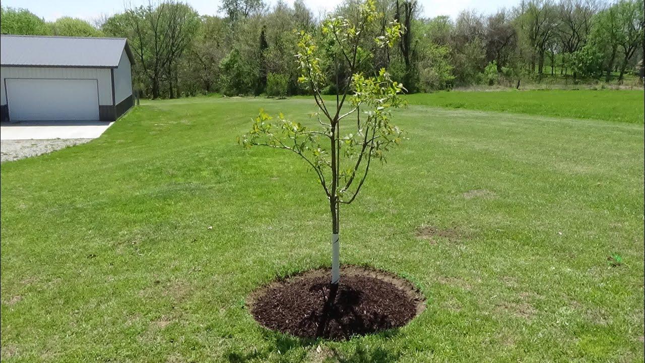 edge & mulch ring tree