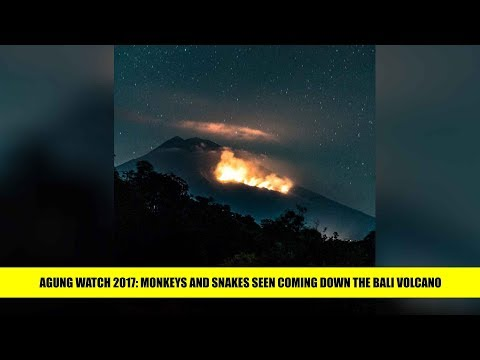 Agung Watch 2017 Monkeys and snakes seen coming down the Bali volcano