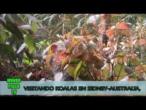 VISITANDO A LOS KOALAS EN SIDNEY AUSTRALIA-MUNDO PISCO TV- DIOMEDES ARANGO