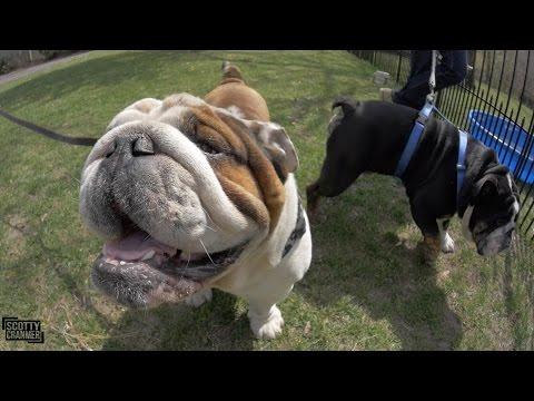 EPIC DAY WITH MY ENGLISH BULLDOGS!