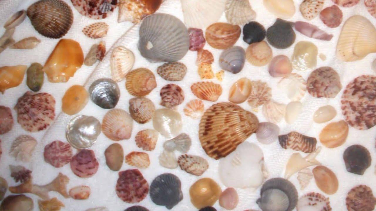 Sea Shells from Marco Island Beach Tigertail not Sanibel - YouTube
