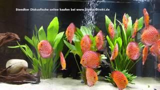 25 Stendker Pigeon Blood Rot Diskusfische im 1200 Liter Aquarium