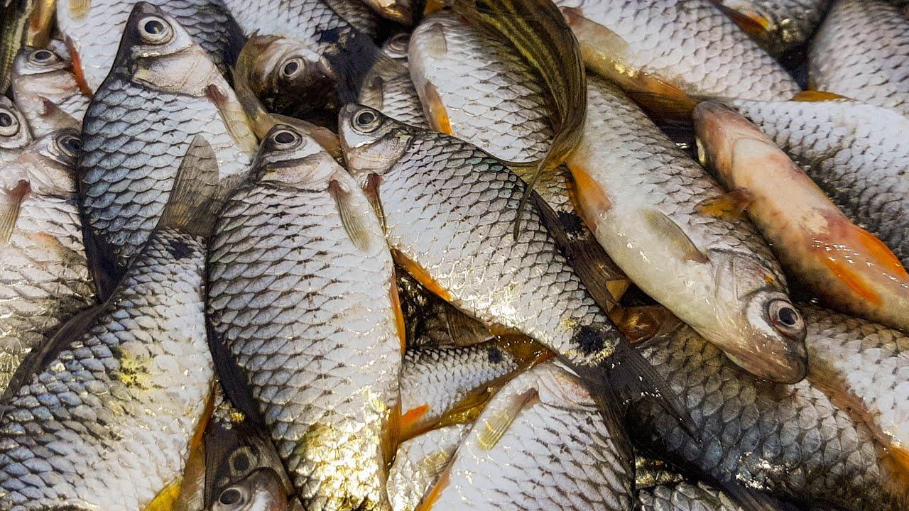 4 Fishing technique 💝 Olive barb fish catching 💝 puti fish hunting using net