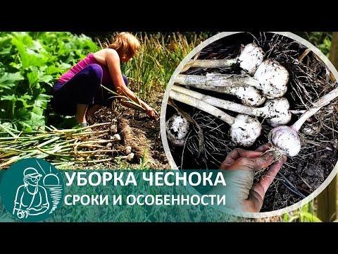 ☘ Время уборки чеснока: когда убирать зимний чеснок