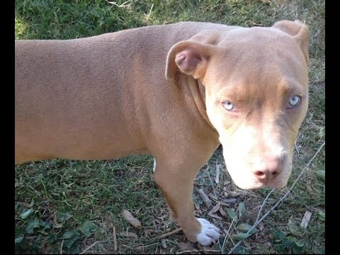 Crate Training Your Pit Bull Terrier Puppy
