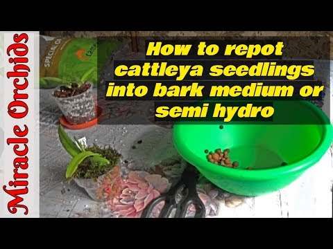 Repotting cattleya orchid seedlings into semi hydro and into bark medium