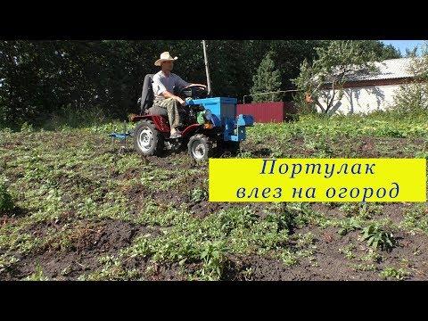 Вопрос: Как вывести портулак с огорода?