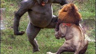 カメラがとらえた動物たちのクレイジーな戦い!ライオンvs チンパンジー...