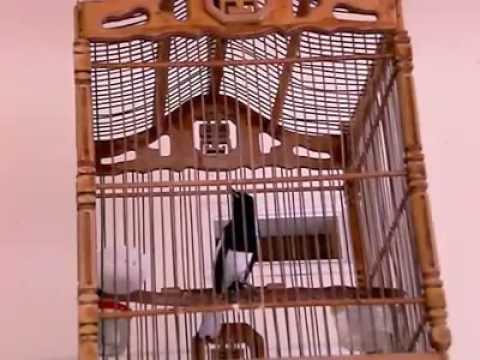 Burung Kacer Ngeplong Buka Paruh