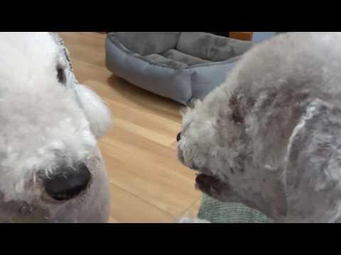 Bedlington Terrier Disagreement