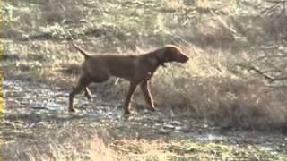 Vizsla Puppy: Point, Back, Retrieve