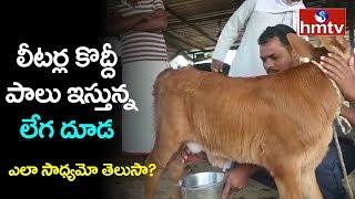 లీటర్ల కొద్దీ పాలు ఇస్తున్న లేగ దూడ | Calf Gives Milk | Nirmal District | hmtv