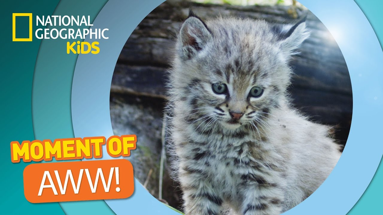 bobcat kittens play and tumble the secret life of animals youtube