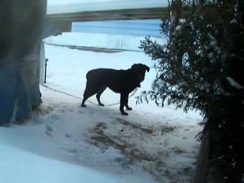 Update: The LAB is INSIDE! Old lab will die chained in the cold in Philipsburg, PA