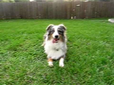 woobie the australian shepherd