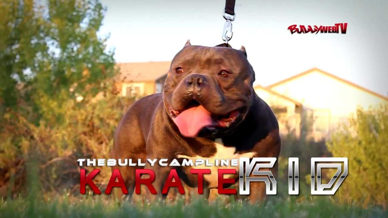 Karate Kid American Bully BullyWebTV - Karate Ki...