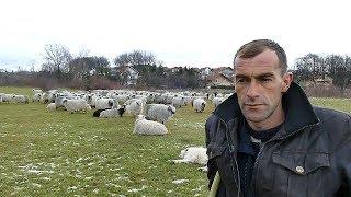 Ovce za izložbe