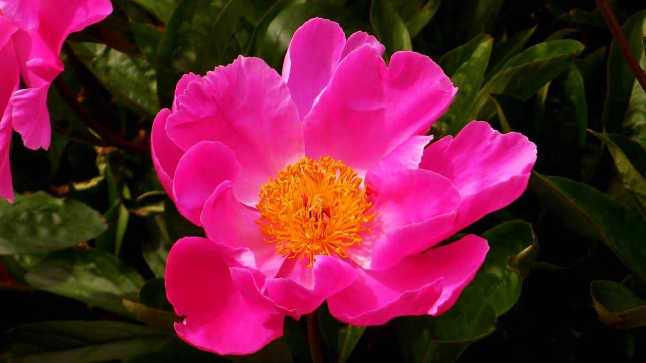 Beautiful flowers in nature ernesto cortazar rhapsody on a theme beautiful flowers in nature ernesto cortazar rhapsody on a theme of paganini izmirmasajfo
