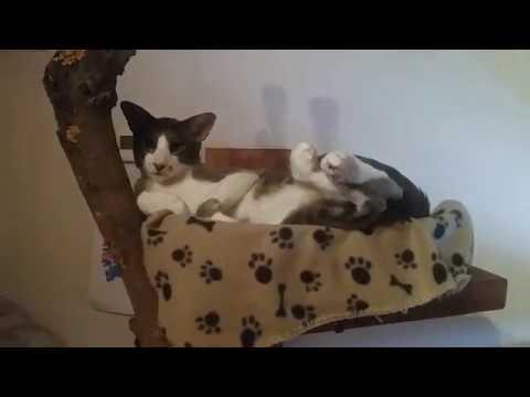 Chipper & Momo, our oriental shorthair cats 2019E03