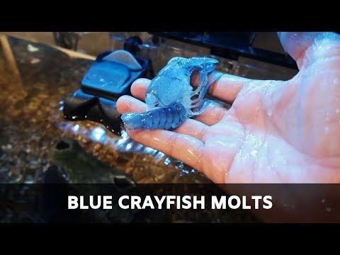 BLUE CRAYFISH MOLTS & FISH TANK UPDATES