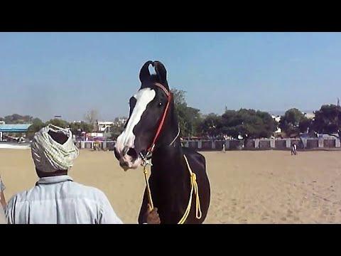 Download Trip To India-2015. Part II: Jodhpur, Marwari Horses, Khichan, Tilwara Horse Fair ...