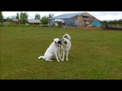 Livestock Guardian Dogs playing