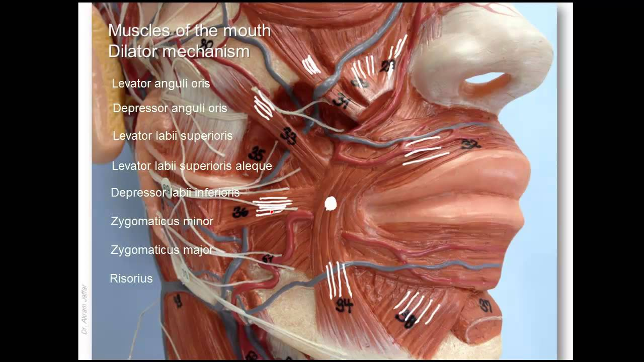 Anatomy of lower facial muscles - YouTube