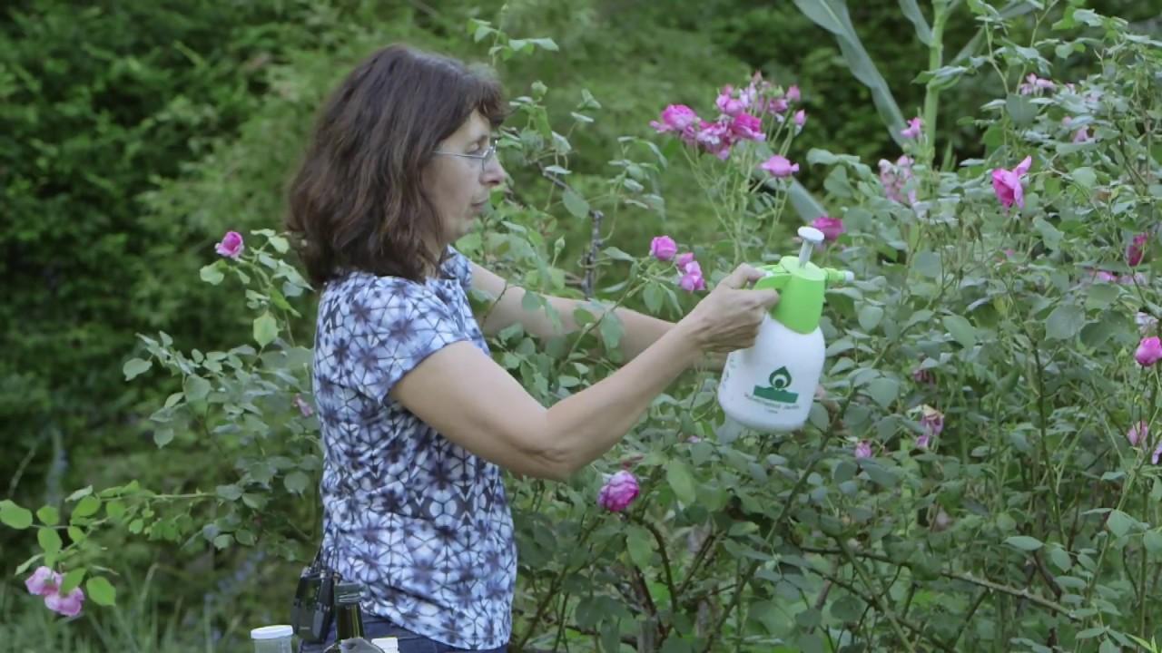 Comment Éloigner Les Fourmis Naturellement comment lutter naturellement contre les pucerons du rosier ? huile + savon  noir + un peu de piment