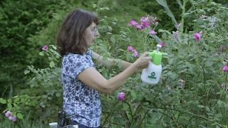 Comment lutter naturellement contre les pucerons du rosier ? huile + savon noir + un peu de piment