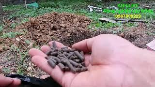 cách trồng cây sầu riêng- cho mau lớn- chống nghẹn rễ