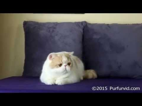 Cream Mac Tabby-White Exotic Shorthair Male