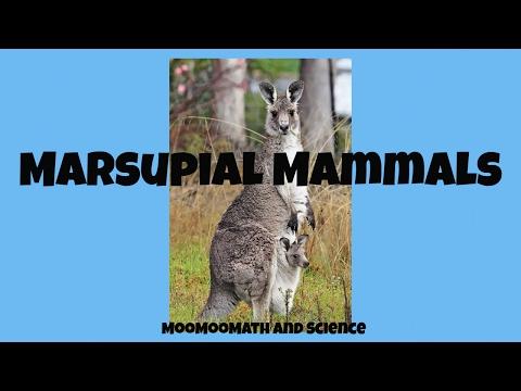 Marsupial mammals