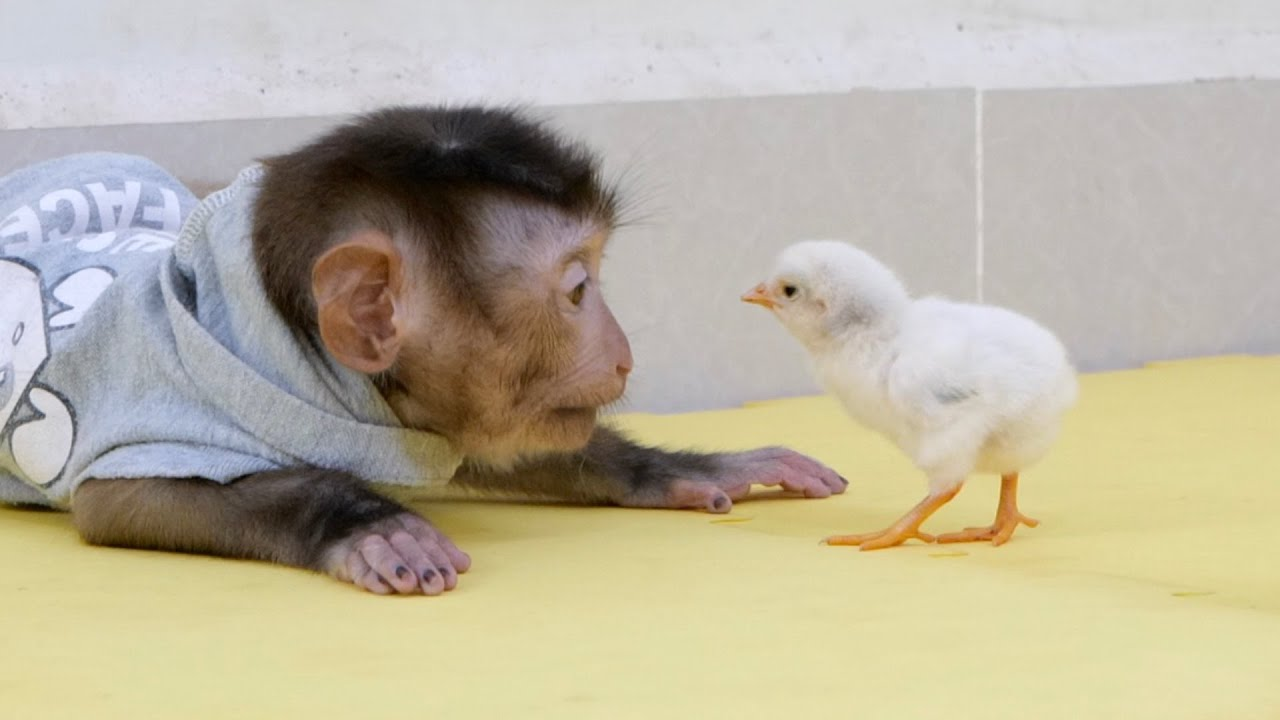 Cute Monkey Bono Playing With Cute Baby Chickens