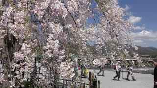 【京都 嵐山の桜 2019】4 13 土 4K ☆渡月橋周辺