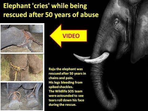 Elephant 'cries' while being rescued after 50 years of abuse