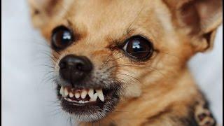 поведение собаки во время родов.(собака не могла сама родить и никого не подпускает к себе. подпустила потом когда кончились силы,, 2015-03-04T06:34:53.000Z)