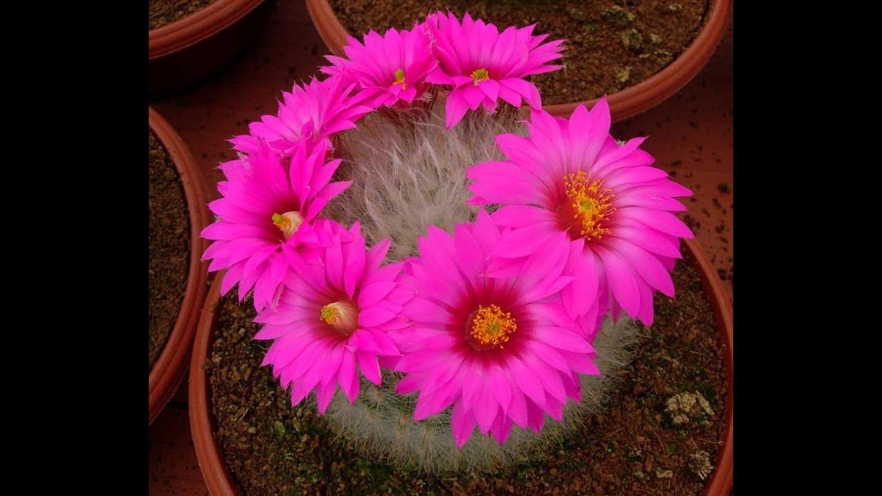 Комнатные однолетние цветы фото и название
