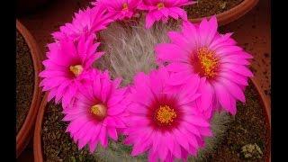 Цветущие домашние цветы. Цветущие кактусы - лучшие домашние цветы