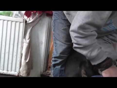 Rotary sander on Bull Terrier claws