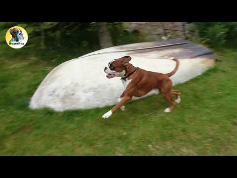 Happy Boxer Dog Does A 'Boxer Burn' 😂