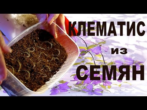 Как вырастить из семян клематис