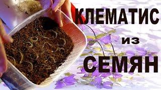 КЛЕМАТИС ИЗ СЕМЯН – ВЫРАЩИВАНИЕ КЛЕМАТИСА ИЗ СЕМЯН  от Nina Petrusha channel Clematis TV