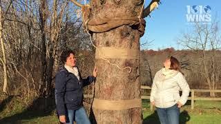 Rockefeller Center Christmas tree cut down in upstate Wallkill