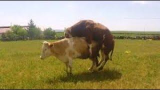 İnek çiftleşmesi çok Komik Dana Bizi Eziyordu 5 Dana 1 Inek#inekçiftleşmesi #inek #boğa #dana#üreme