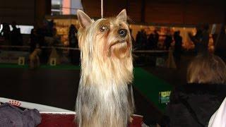 Австралийский шелковистый терьер, выставка ZooExpo. SILKY TERRIER. Baltic Winner 2016 CACIB Dog Show
